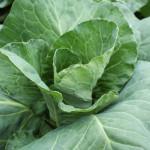We Grow caraflex cabbage