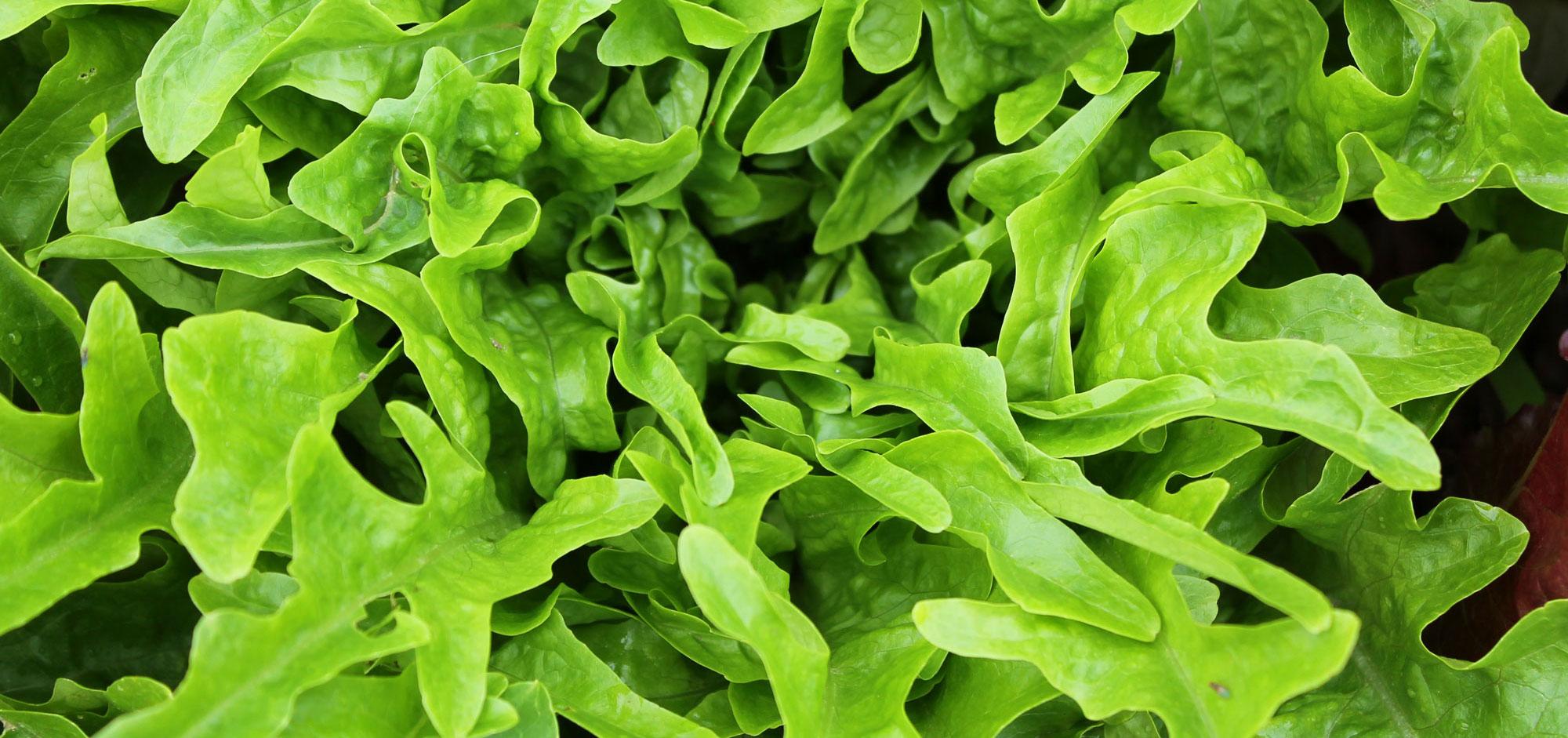 lettuce-green_0492