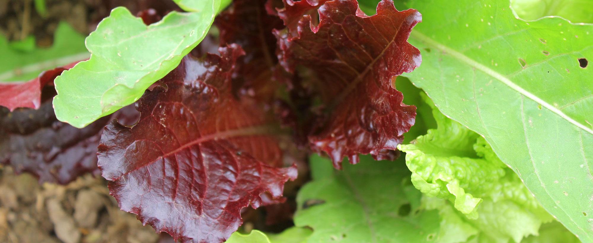 lettuce-red_0488