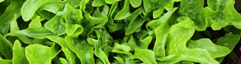 bck-lettuce-green_0492