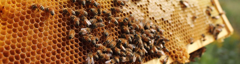 bck-bees1