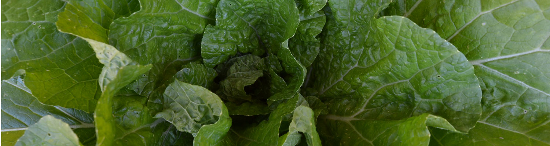 bck-napa-cabbage2015