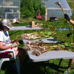 Harvesting Garlic at We Grow LLC