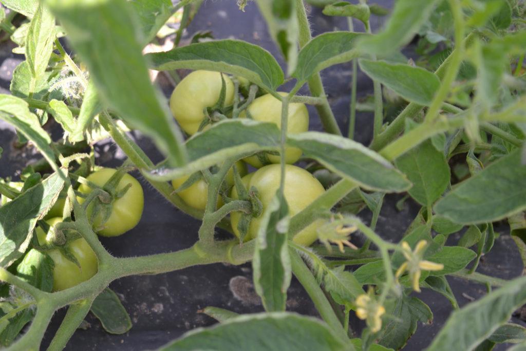 Green Tomatoes at We Grow LLC