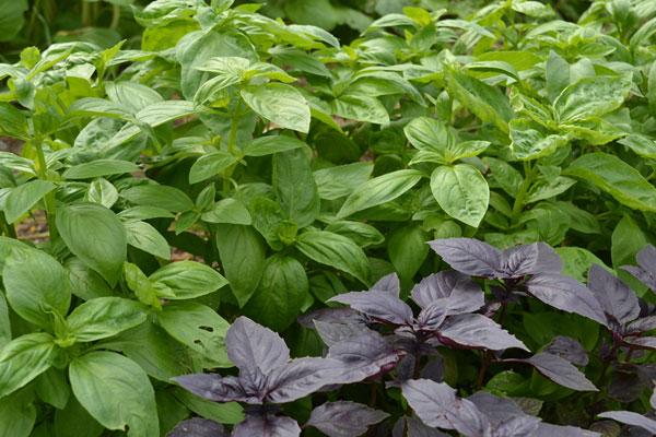 Basil at We Grow