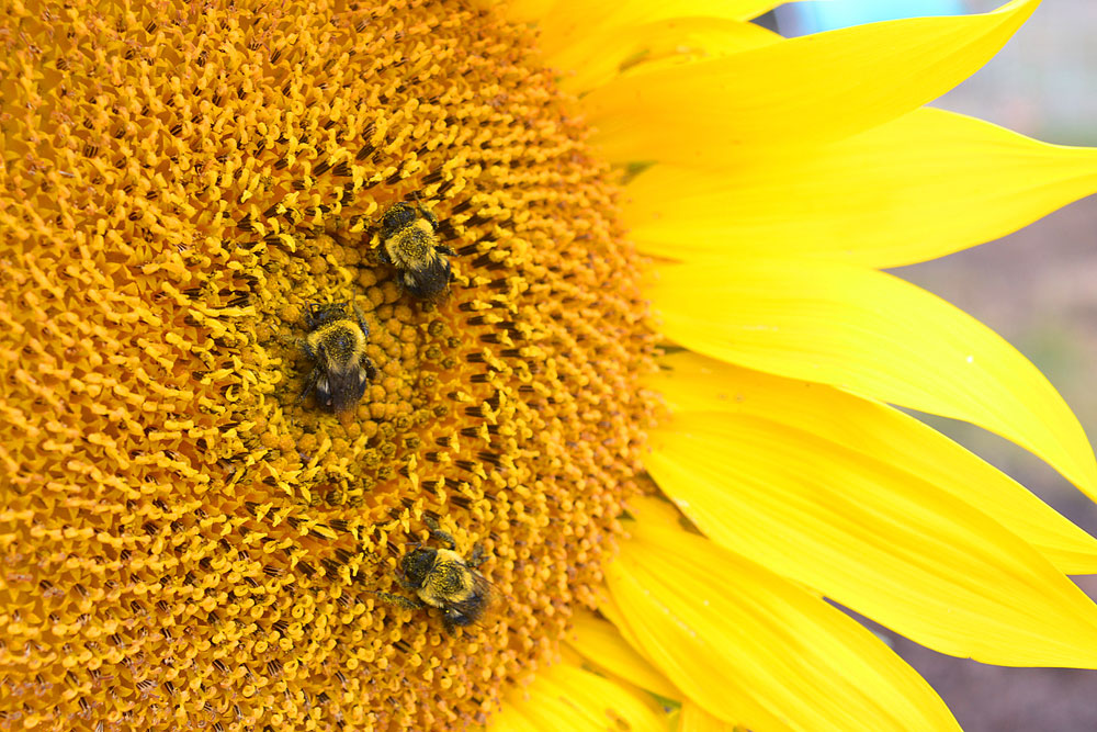Pollinators spend a cold night on a sunflower wearing a pollen blanket.