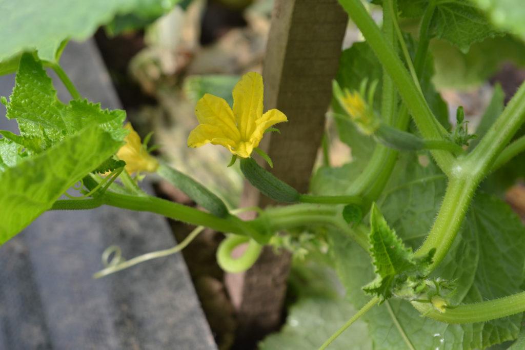 Baby Cucumbers at We Grow LLC