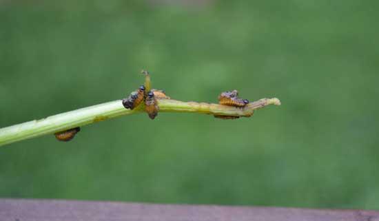 Colorado potato beetle at We Grow