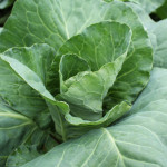 We Grow caraflex cabbage