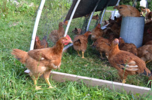 Pasture Raised Chickens at We Grow LLC
