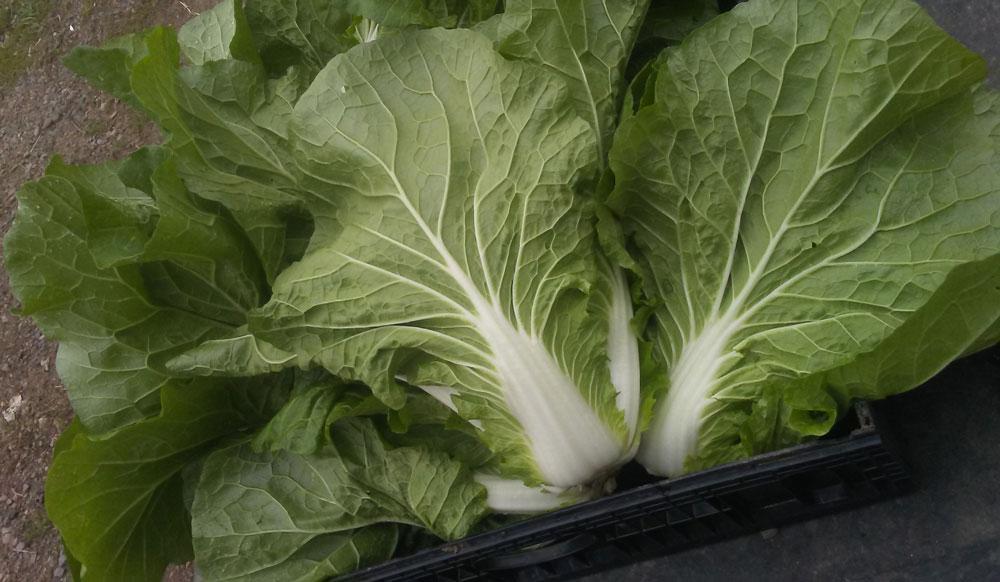 Napa cabbages at We Grow
