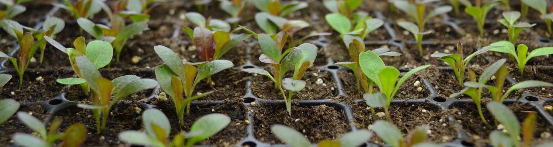 lettuce_transplants_1633